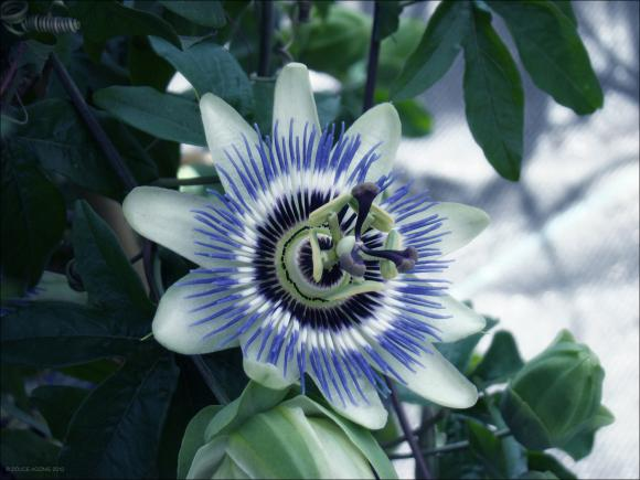 http://poussiereobsidienne.cowblog.fr/images/Imagesdarticles/Passiflora.jpg